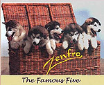 The famous Five first malamutes born in New Zealand
